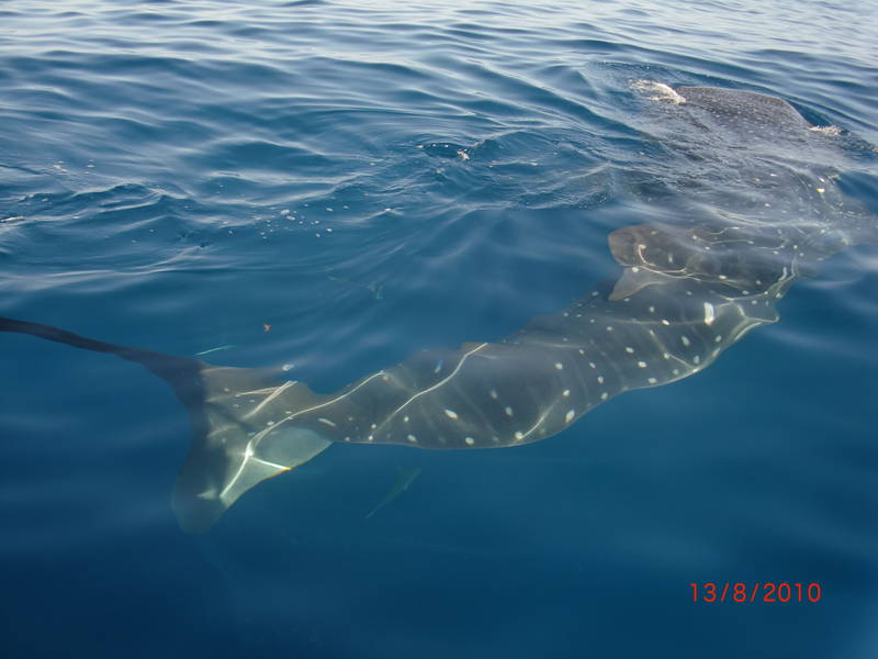 Swim with the amazing Whale Shark