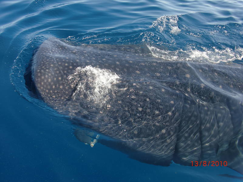 Snorkeling with the Whale Sharks