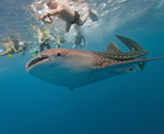 Swim with the Whalesharks!