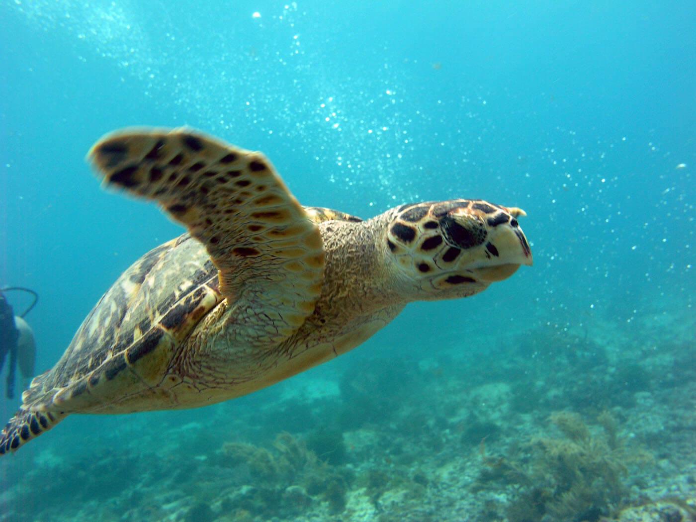 Isla Mujeres Sea Turtle Snorkeling Scuba Diving Squalo Adventures-10