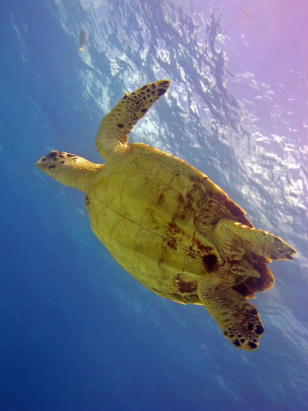 Isla Mujeres Sea Turtle Snorkeling Scuba Diving Squalo Adventures-12