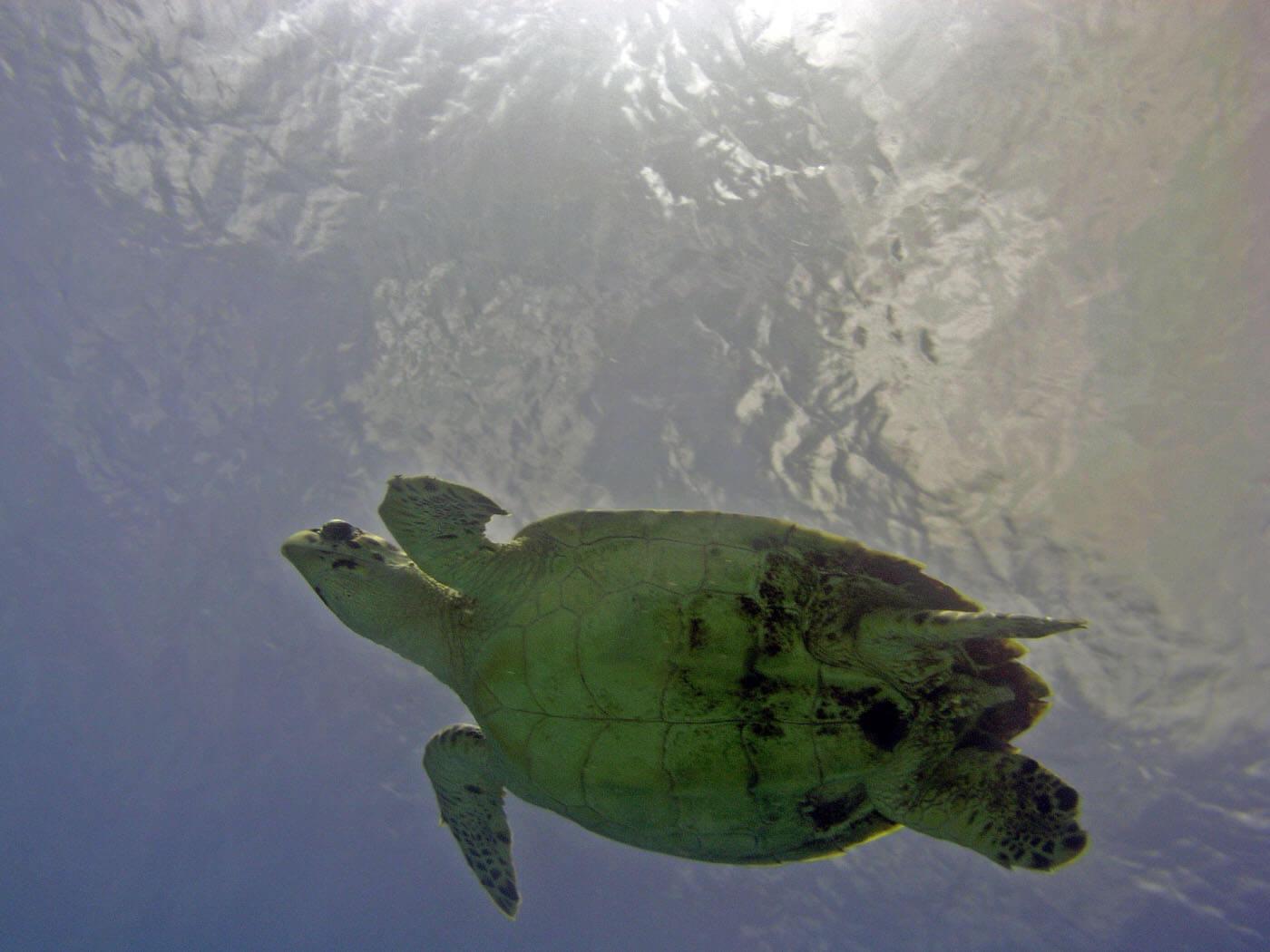 Isla Mujeres Sea Turtle Snorkeling Scuba Diving Squalo Adventures-13