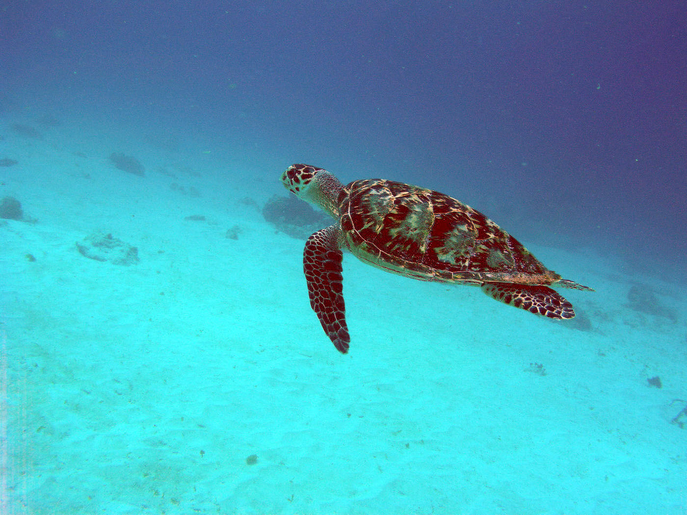 Isla Mujeres Sea Turtle Snorkeling Scuba Diving Squalo Adventures-4