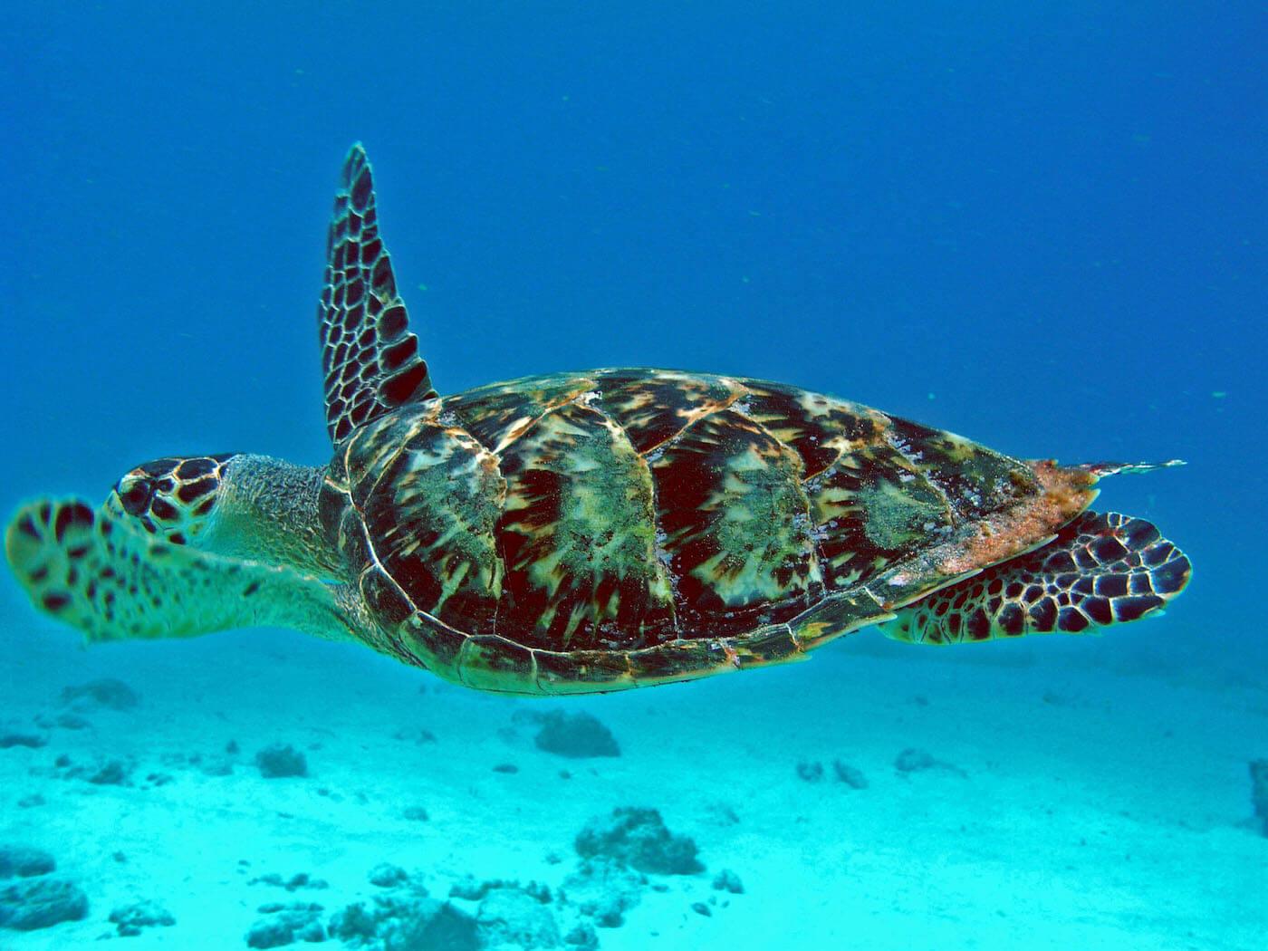 Isla Mujeres Sea Turtle Snorkeling Scuba Diving Squalo Adventures-5