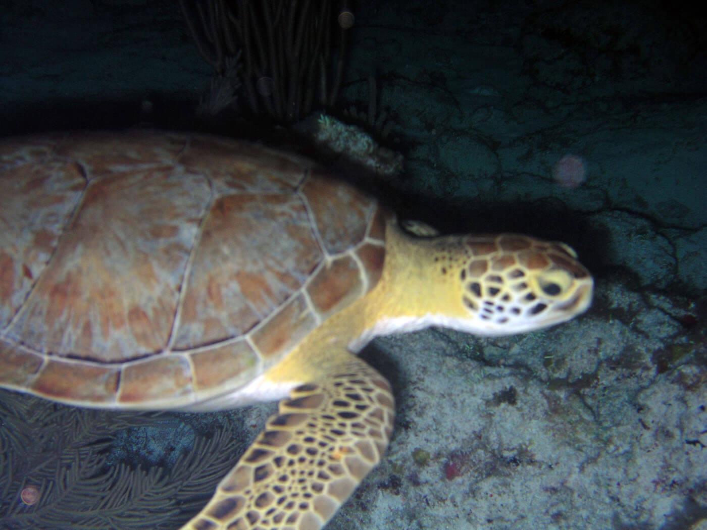 Isla Mujeres Sea Turtle Snorkeling Scuba Diving Squalo Adventures-8