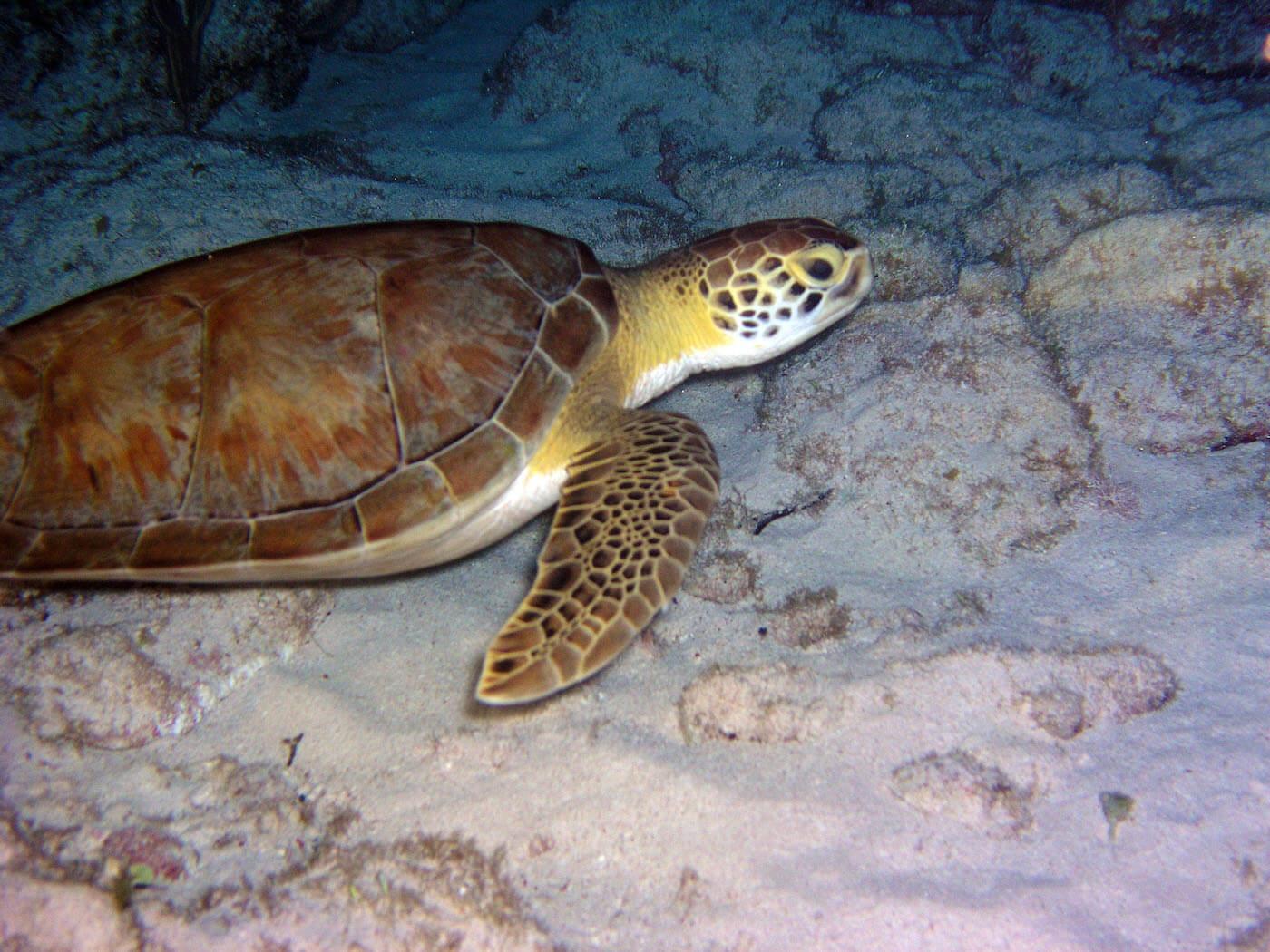 Isla Mujeres Sea Turtle Snorkeling Scuba Diving Squalo Adventures-9