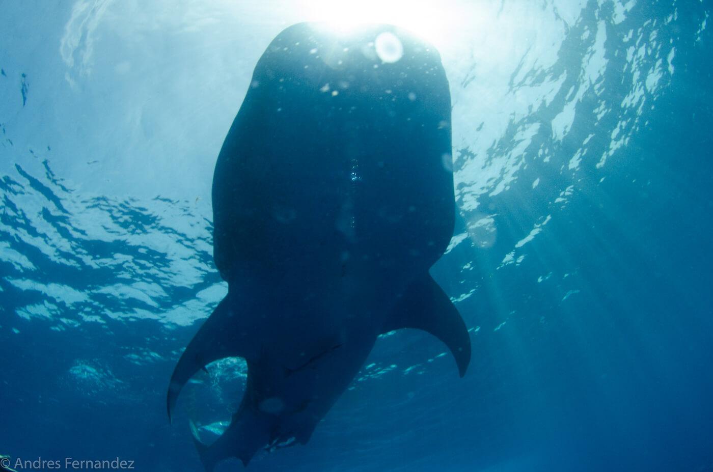 Isla Mujeres Whale Shark Snorkel Tours Squalo Adventures-1