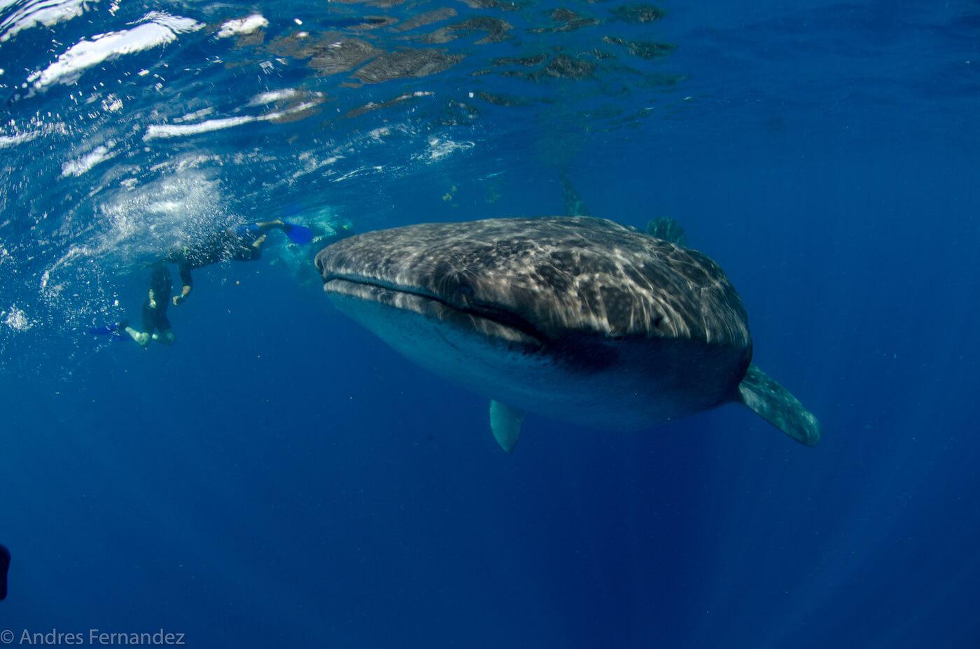 Isla Mujeres Whale Shark Snorkel Tours Squalo Adventures-10