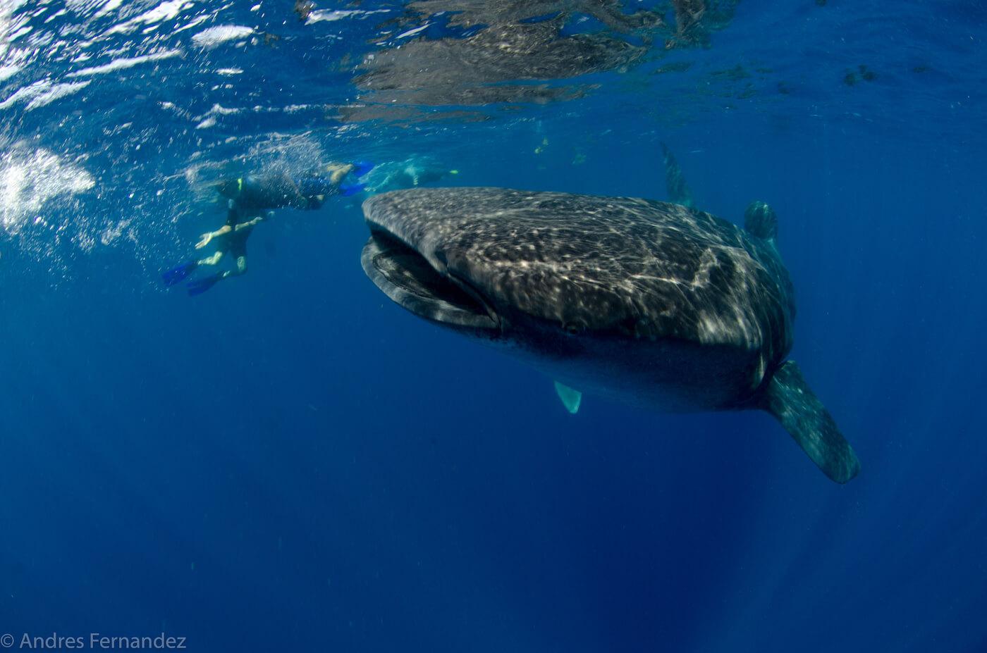 Isla Mujeres Whale Shark Snorkel Tours Squalo Adventures-11
