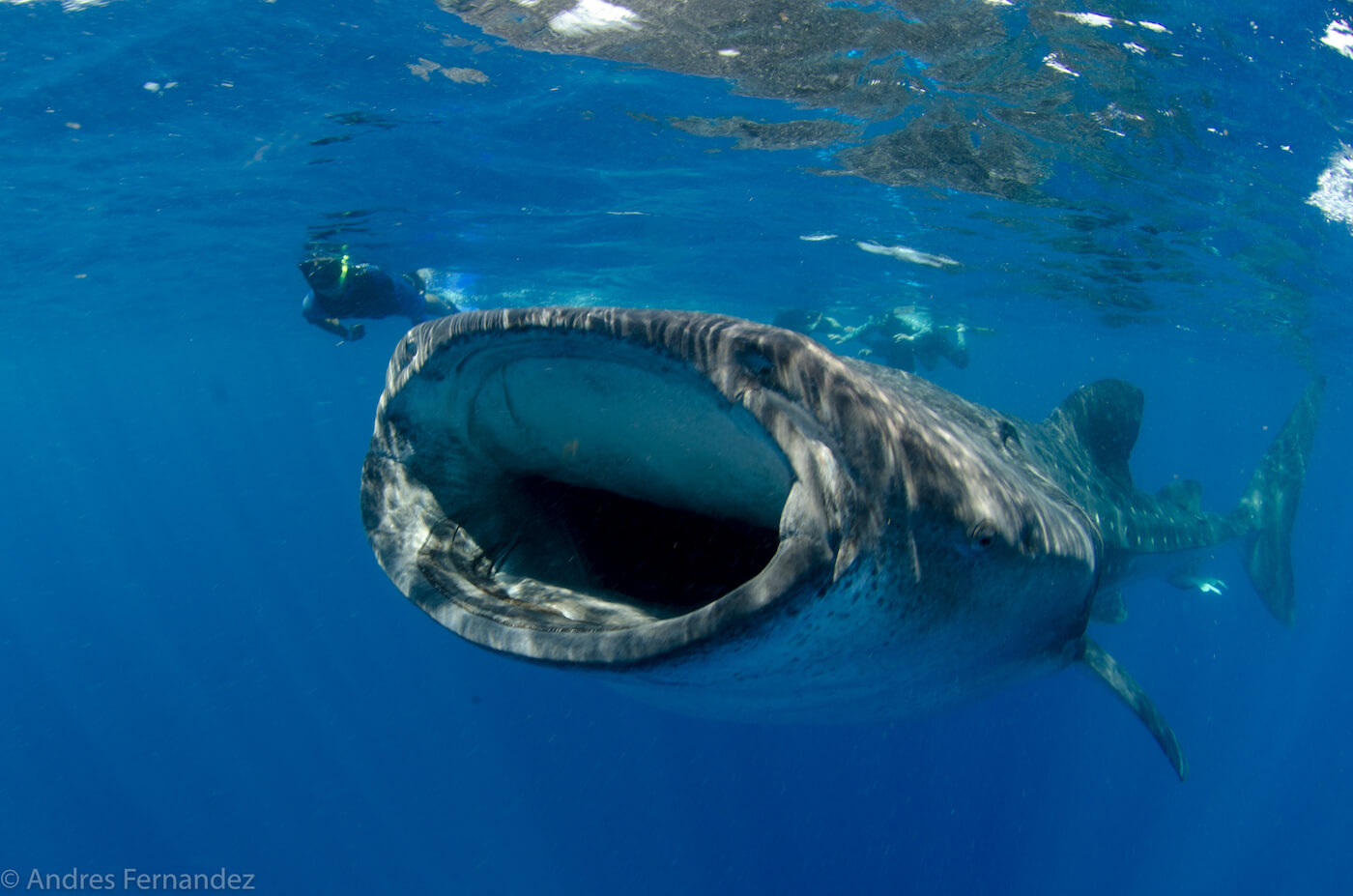 Isla Mujeres Whale Shark Snorkel Tours Squalo Adventures-12