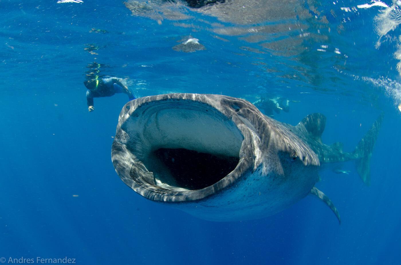 Isla Mujeres Whale Shark Snorkel Tours Squalo Adventures-13