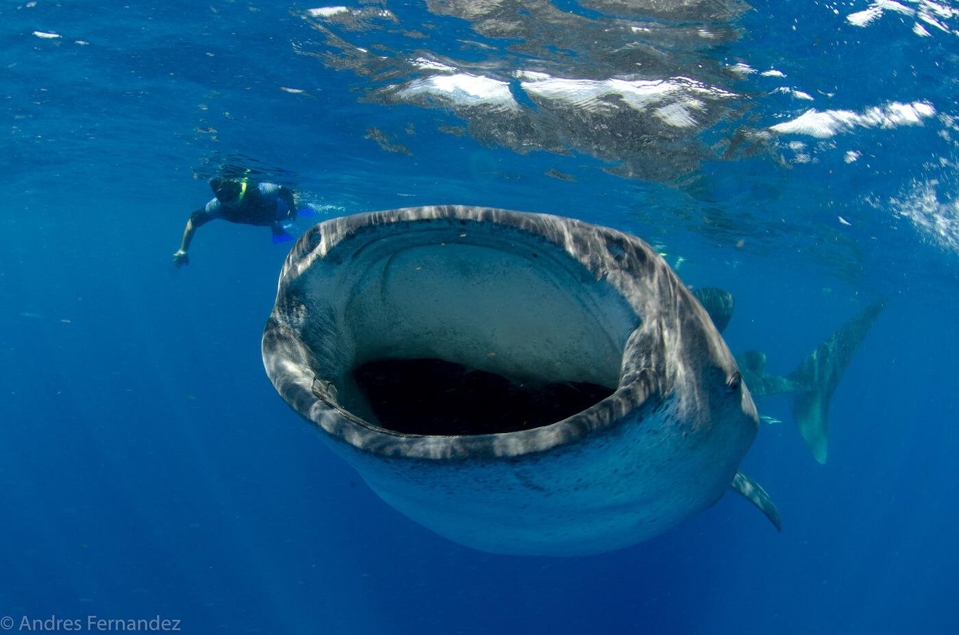 Isla Mujeres Whale Shark Snorkel Tours Squalo Adventures-14