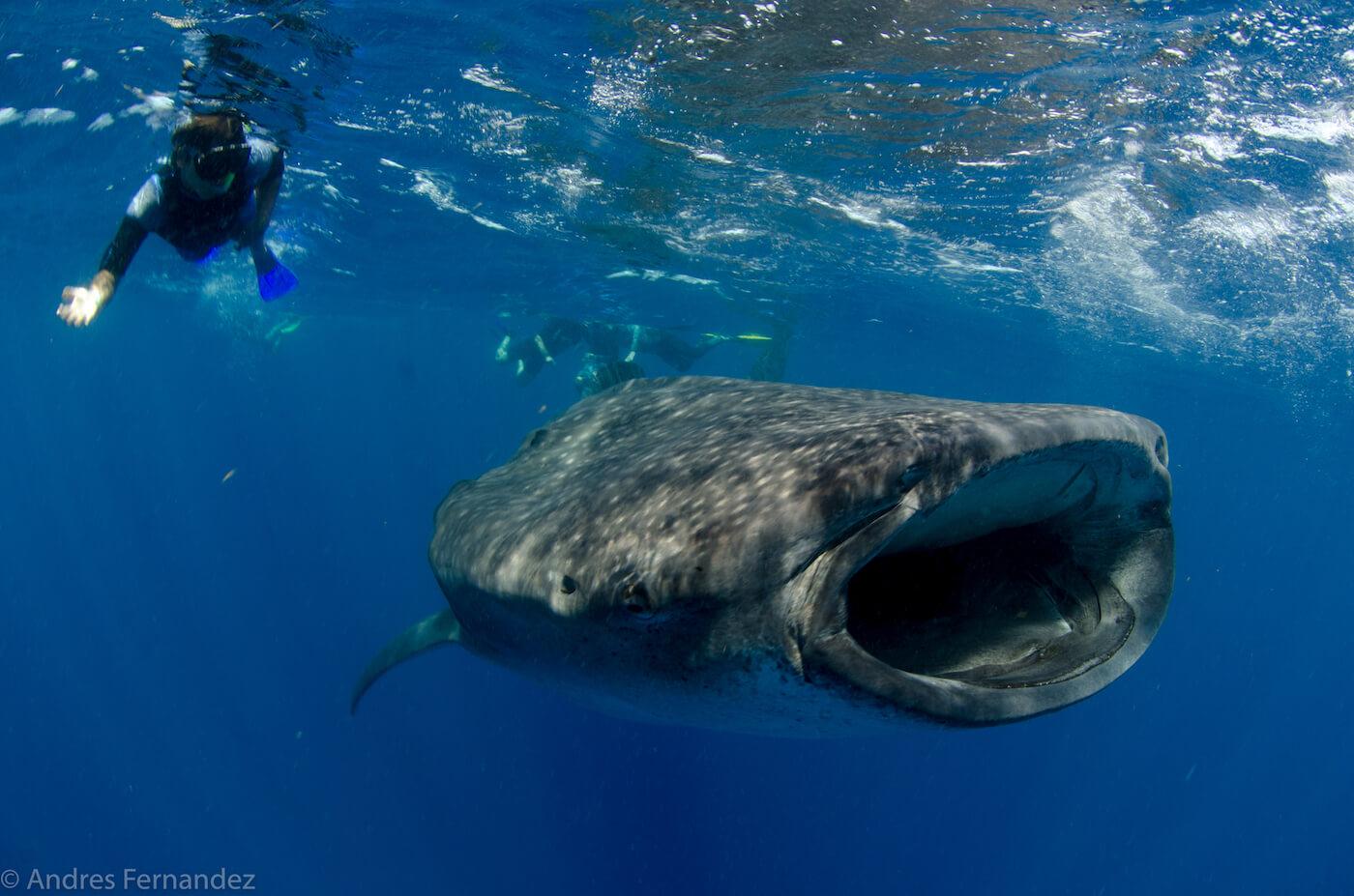 Isla Mujeres Whale Shark Snorkel Tours Squalo Adventures-15