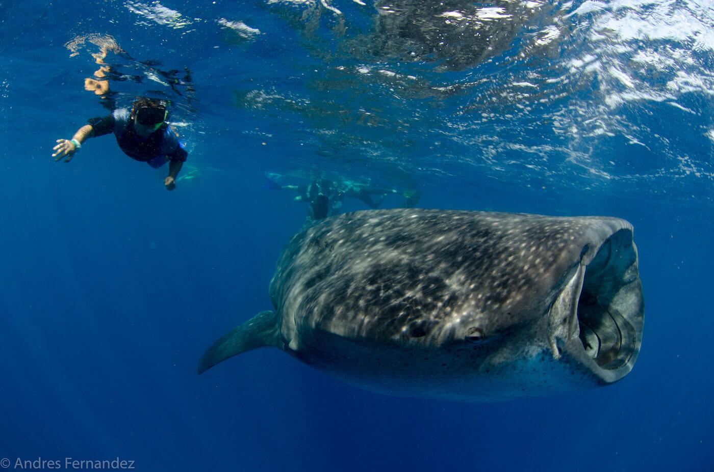 Isla Mujeres Whale Shark Snorkel Tours Squalo Adventures-16