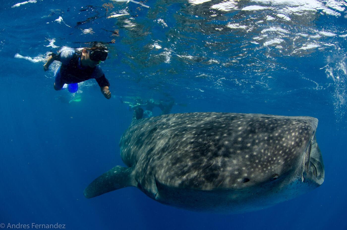 Isla Mujeres Whale Shark Snorkel Tours Squalo Adventures-17