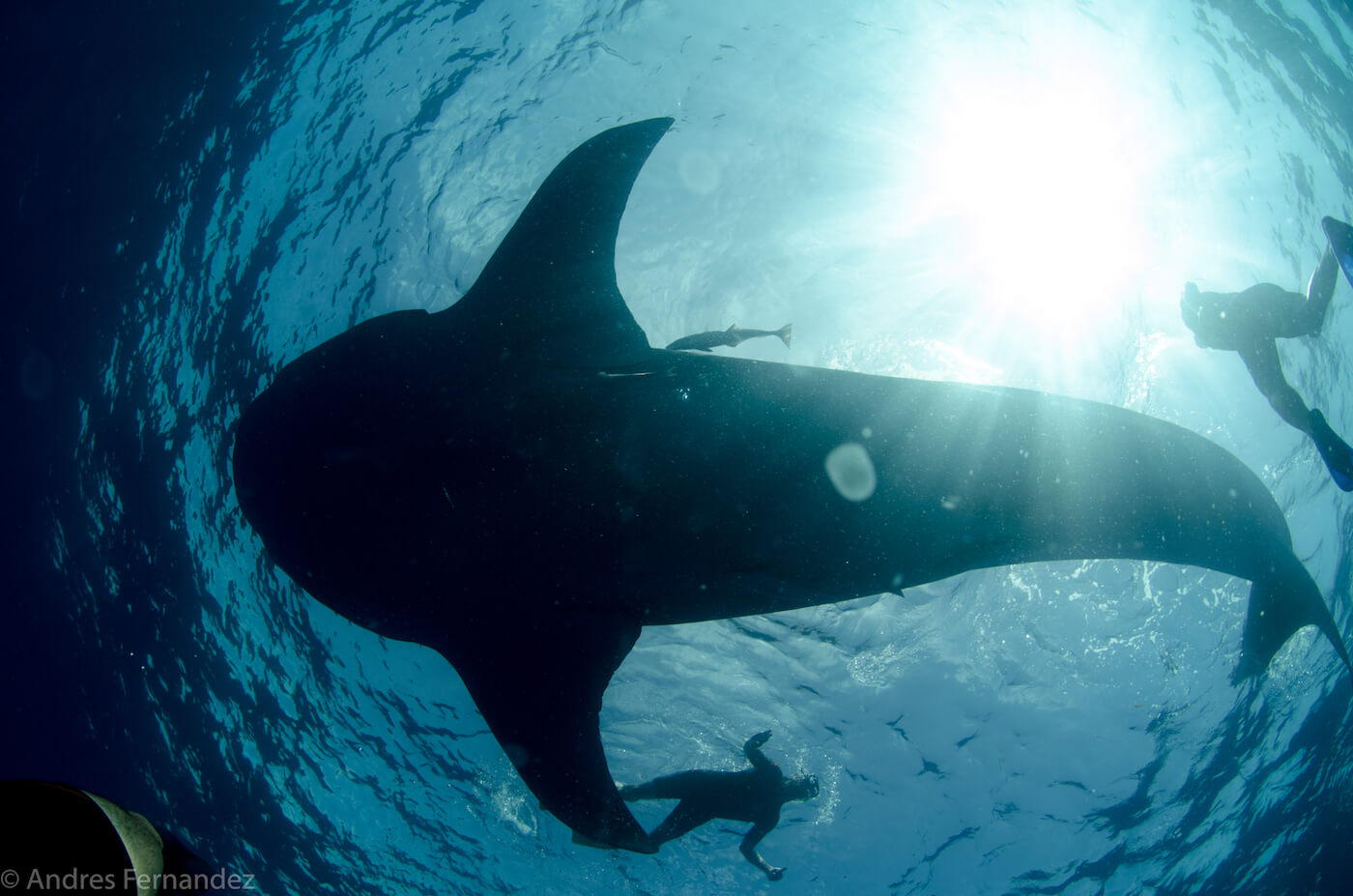 Isla Mujeres Whale Shark Snorkel Tours Squalo Adventures-2