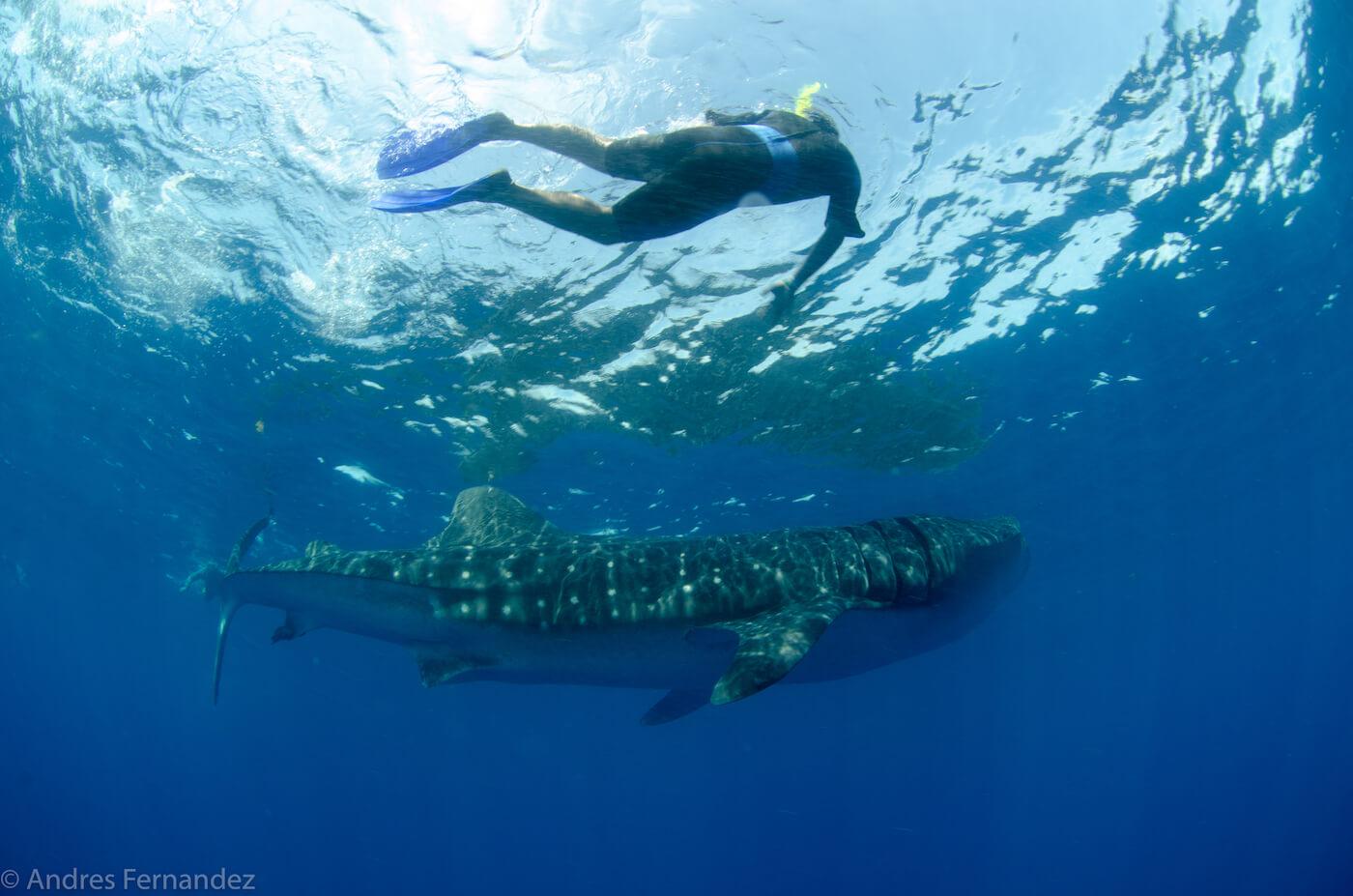 Isla Mujeres Whale Shark Snorkel Tours Squalo Adventures-20