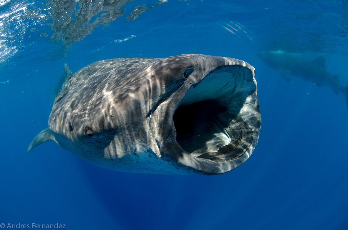 Isla Mujeres Whale Shark Snorkel Tours Squalo Adventures-21