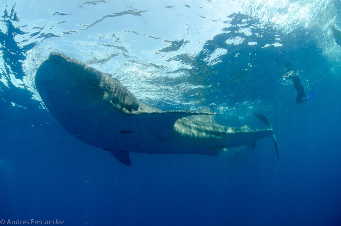 Isla Mujeres Whale Shark Snorkel Tours Squalo Adventures-22