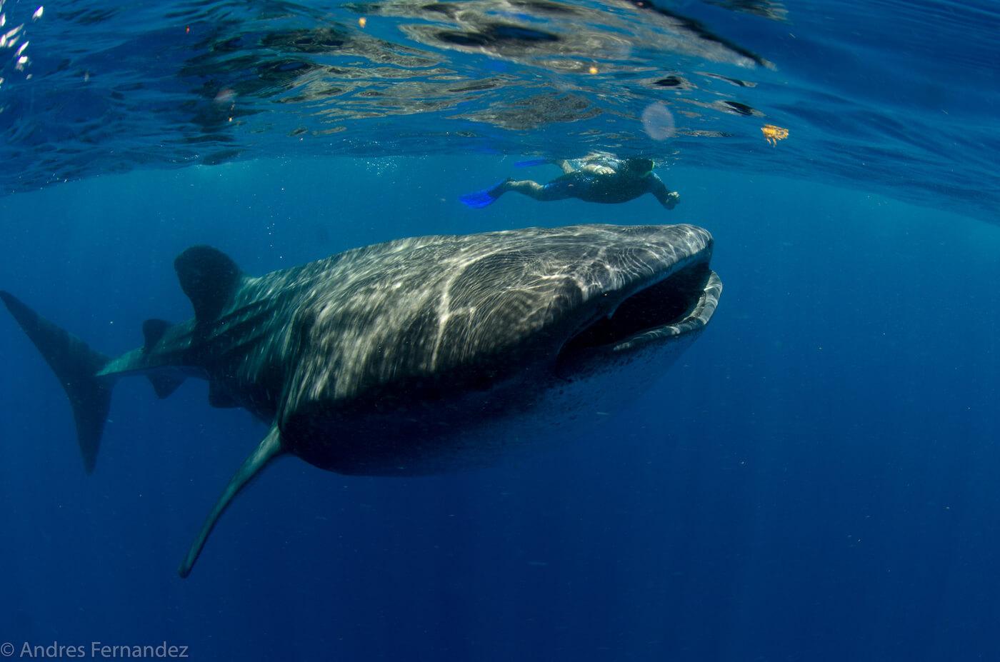 Isla Mujeres Whale Shark Snorkel Tours Squalo Adventures-25