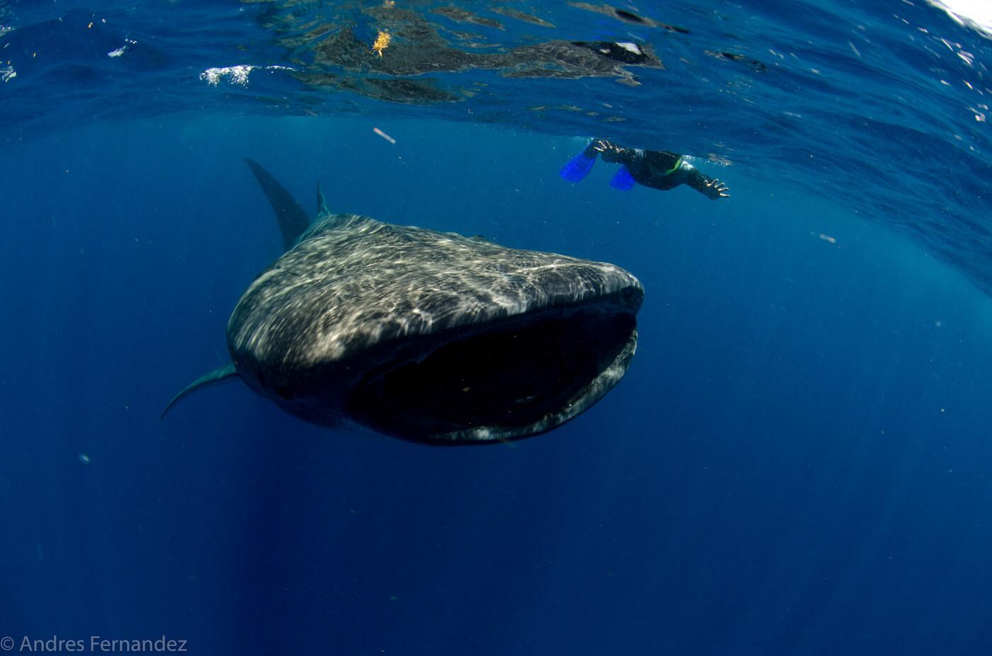 Isla Mujeres Whale Shark Snorkel Tours Squalo Adventures-26
