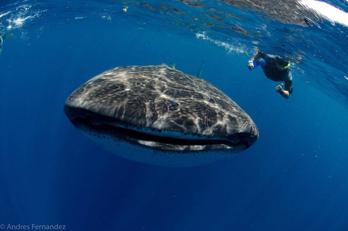 Isla Mujeres Whale Shark Snorkel Tours Squalo Adventures-27