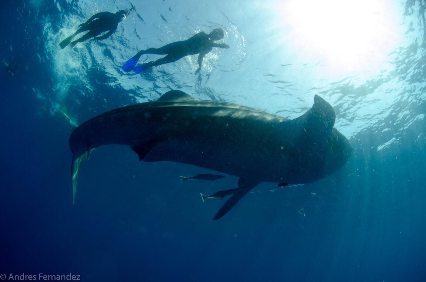 Isla Mujeres Whale Shark Snorkel Tours Squalo Adventures-28