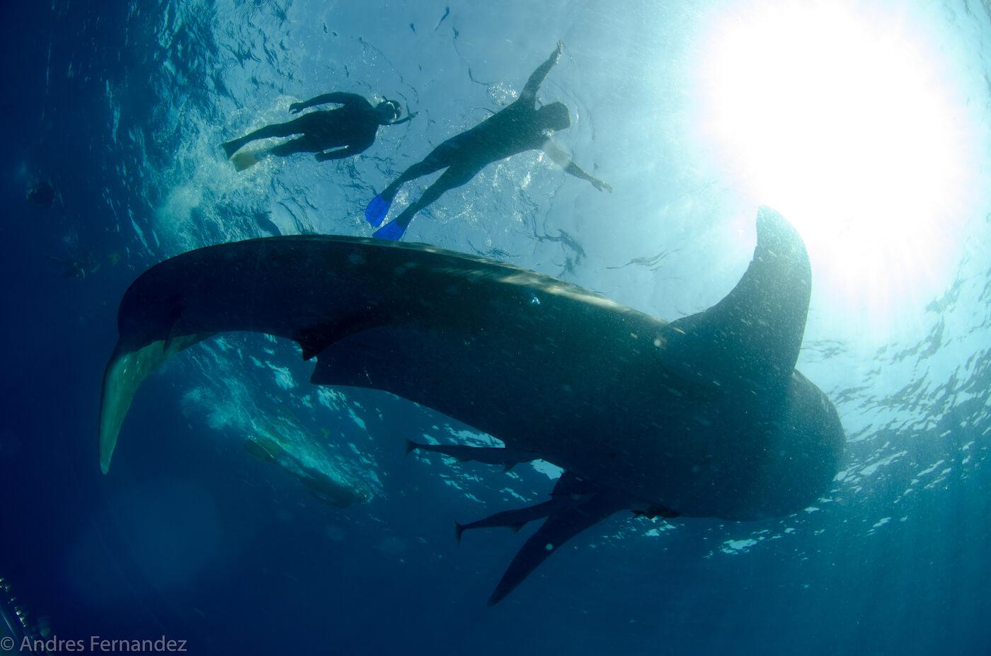 Isla Mujeres Whale Shark Snorkel Tours Squalo Adventures-29