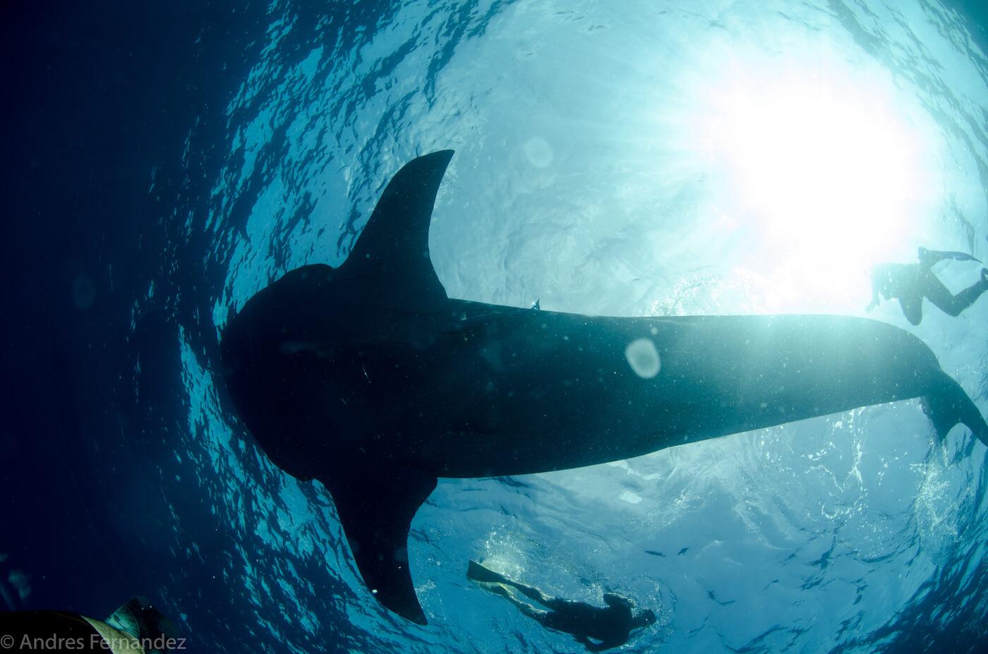 Isla Mujeres Whale Shark Snorkel Tours Squalo Adventures-3