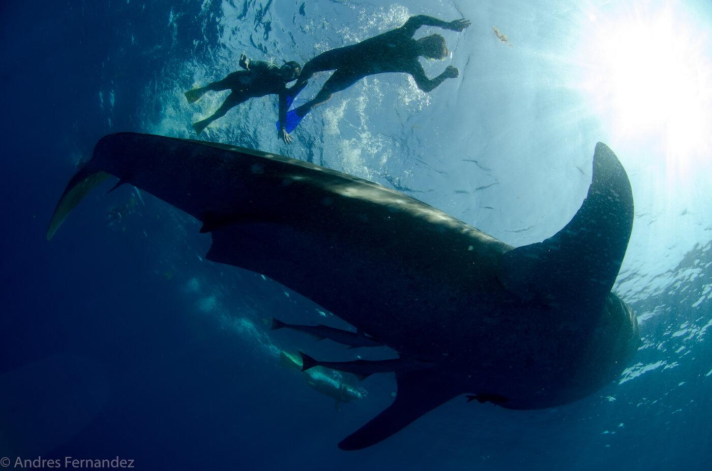 Isla Mujeres Whale Shark Snorkel Tours Squalo Adventures-30