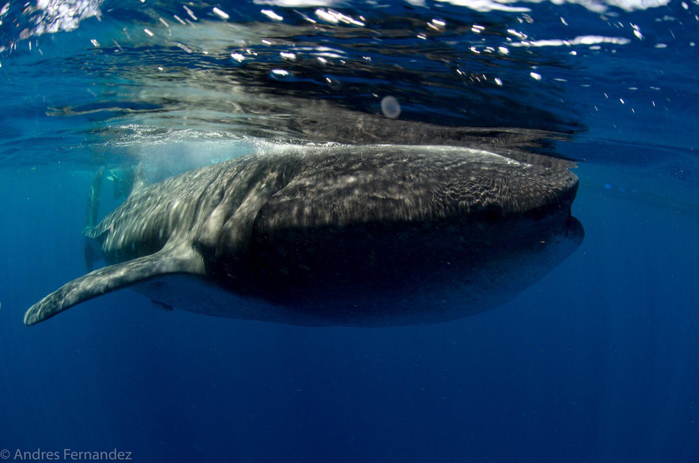 Isla Mujeres Whale Shark Snorkel Tours Squalo Adventures-32