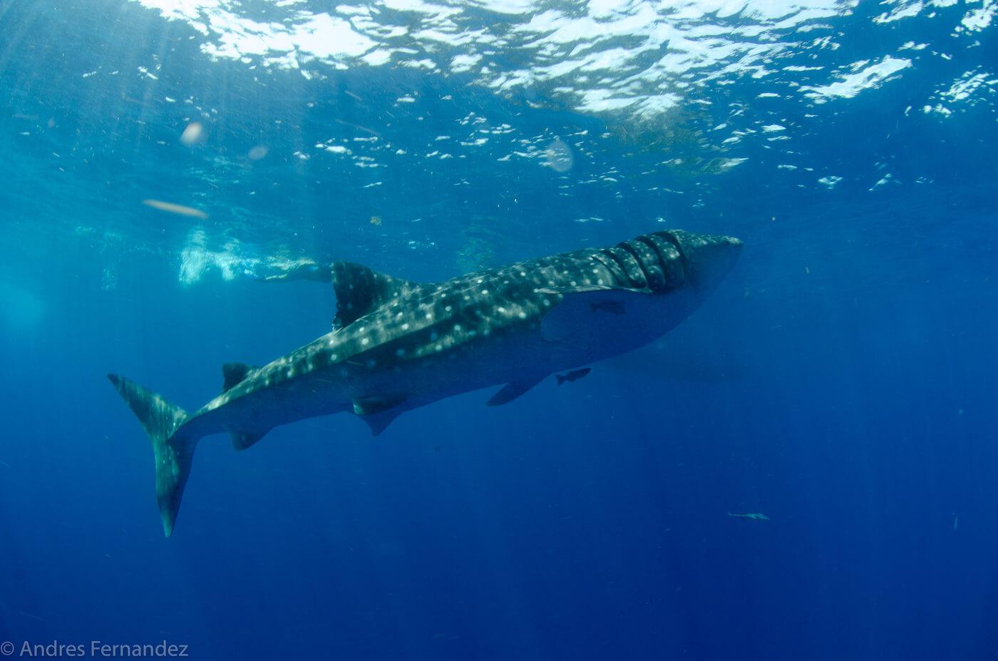Isla Mujeres Whale Shark Snorkel Tours Squalo Adventures-33
