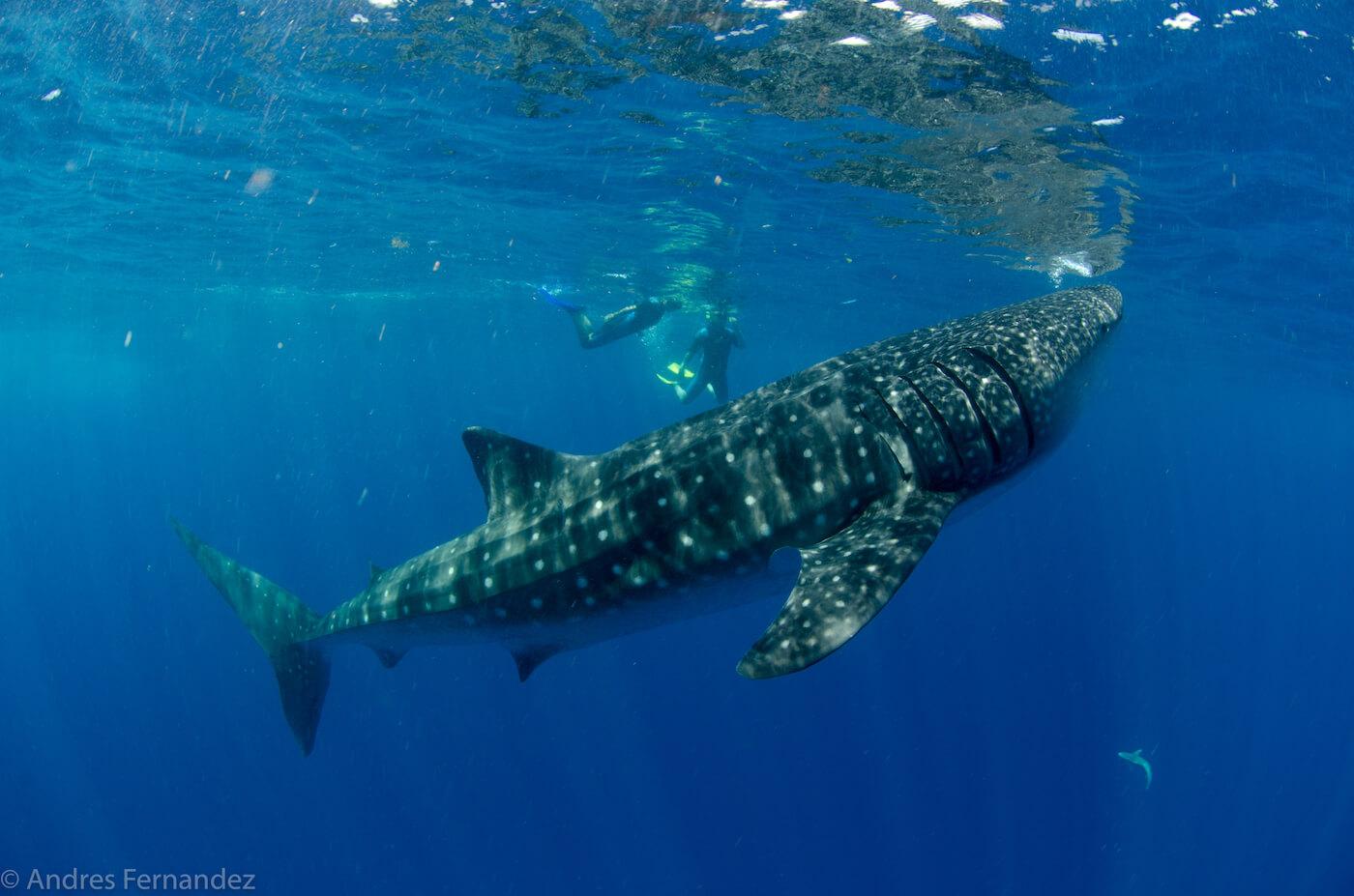 Isla Mujeres Whale Shark Snorkel Tours Squalo Adventures-34