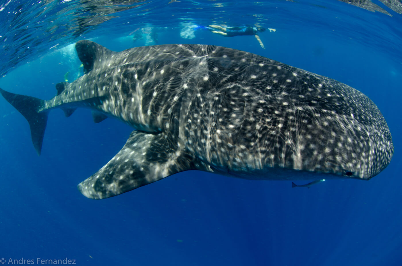 Isla Mujeres Whale Shark Snorkel Tours Squalo Adventures-37