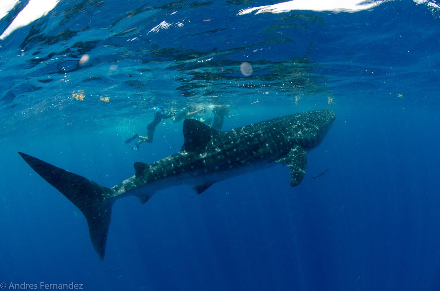 Isla Mujeres Whale Shark Snorkel Tours Squalo Adventures-38