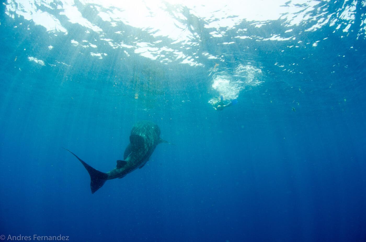Isla Mujeres Whale Shark Snorkel Tours Squalo Adventures-40