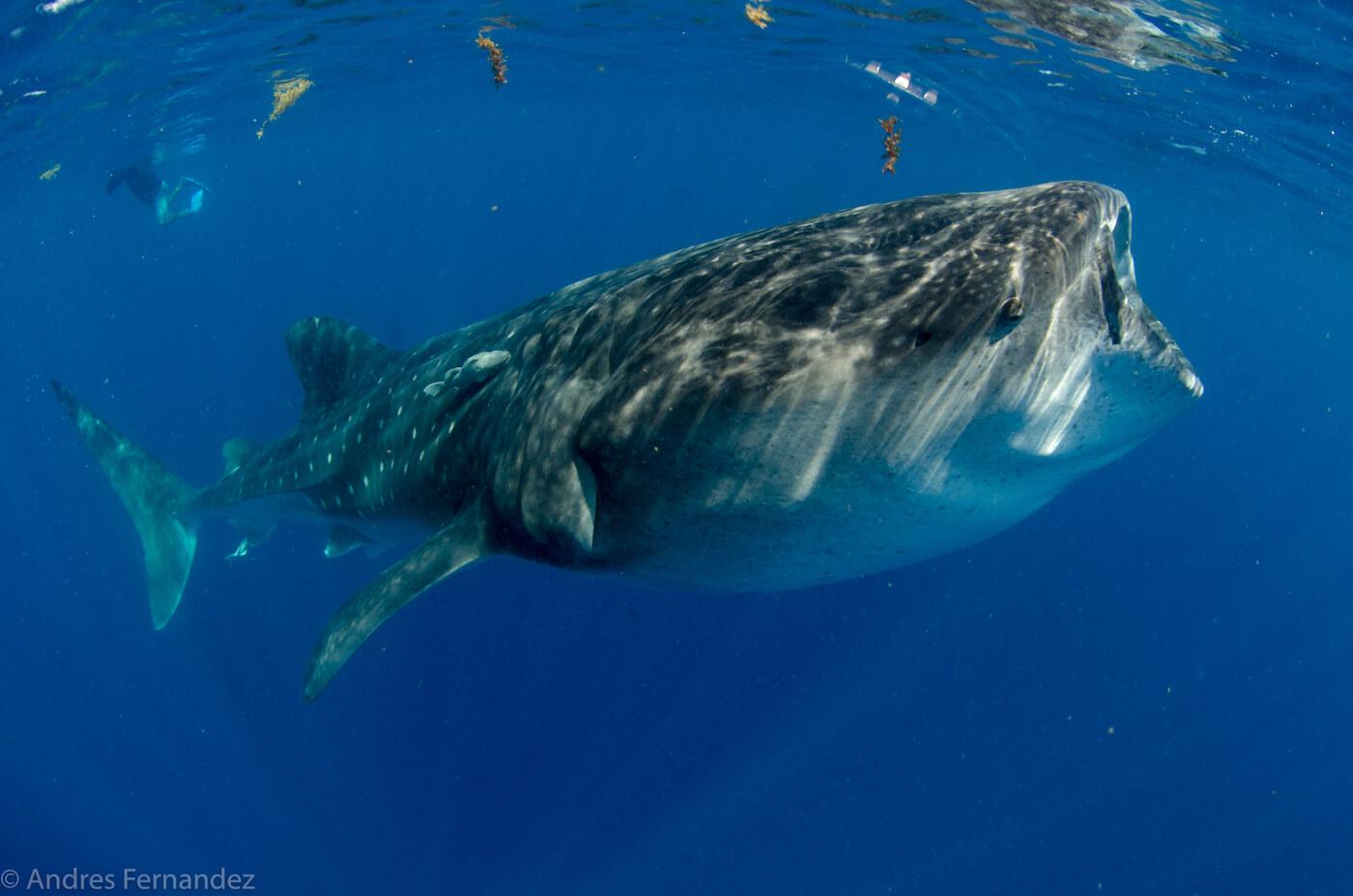 Isla Mujeres Whale Shark Snorkel Tours Squalo Adventures-5