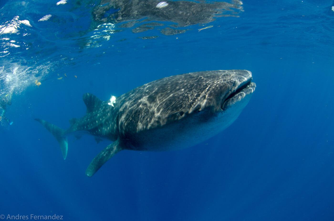 Isla Mujeres Whale Shark Snorkel Tours Squalo Adventures-6