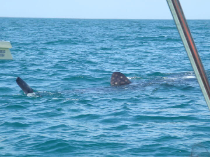 Isla Mujeres Whale Shark Tours Squalo Adventures-1