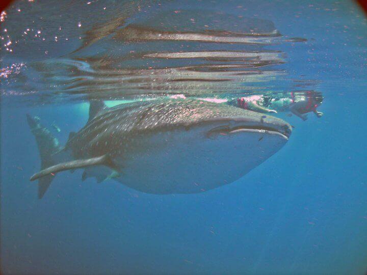 Isla Mujeres Whale Shark Tours Squalo Adventures-10