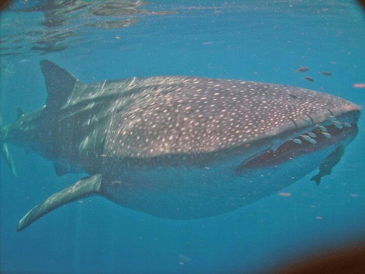Isla Mujeres Whale Shark Tours Squalo Adventures-11