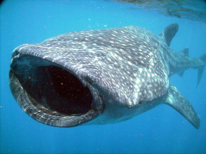 Isla Mujeres Whale Shark Tours Squalo Adventures-14