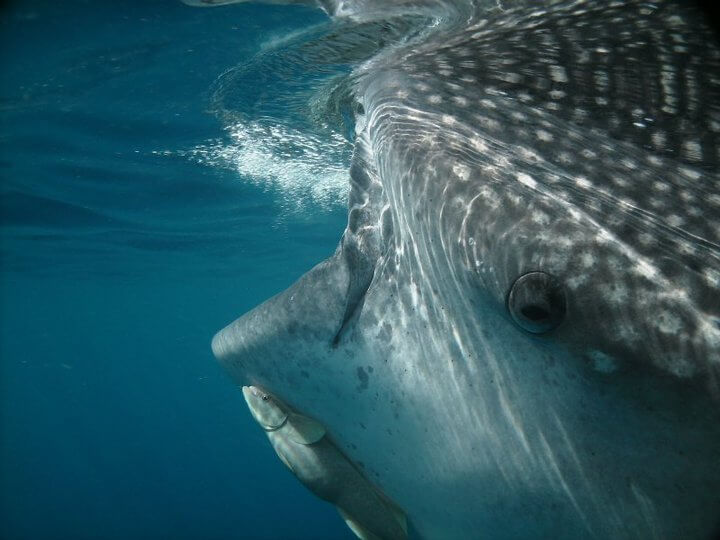 Isla Mujeres Whale Shark Tours Squalo Adventures-17