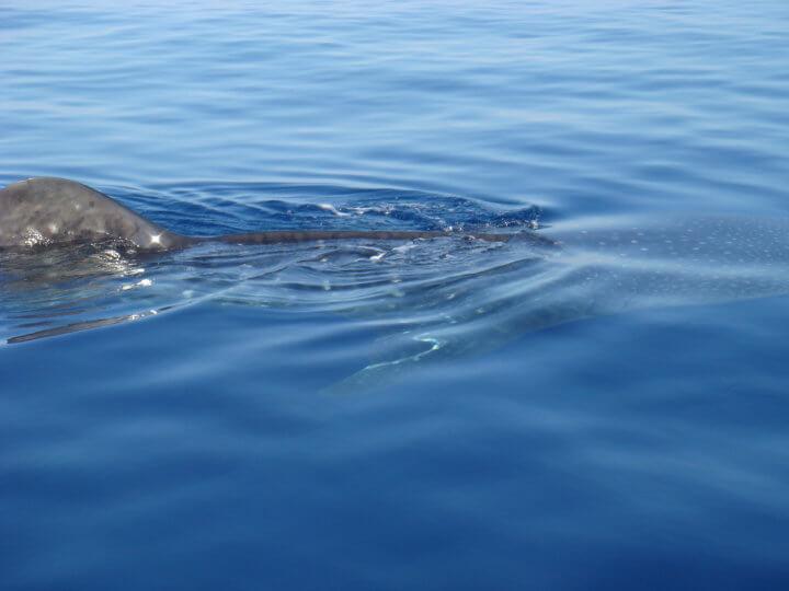 Isla Mujeres Whale Shark Tours Squalo Adventures-5