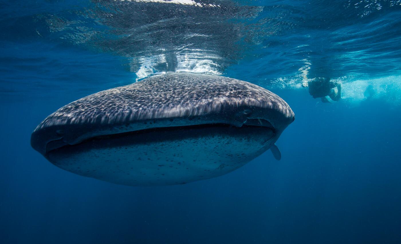 Whale-Shark-Tours-Cancun-Isla-Mujeres-Riviera-Maya-12