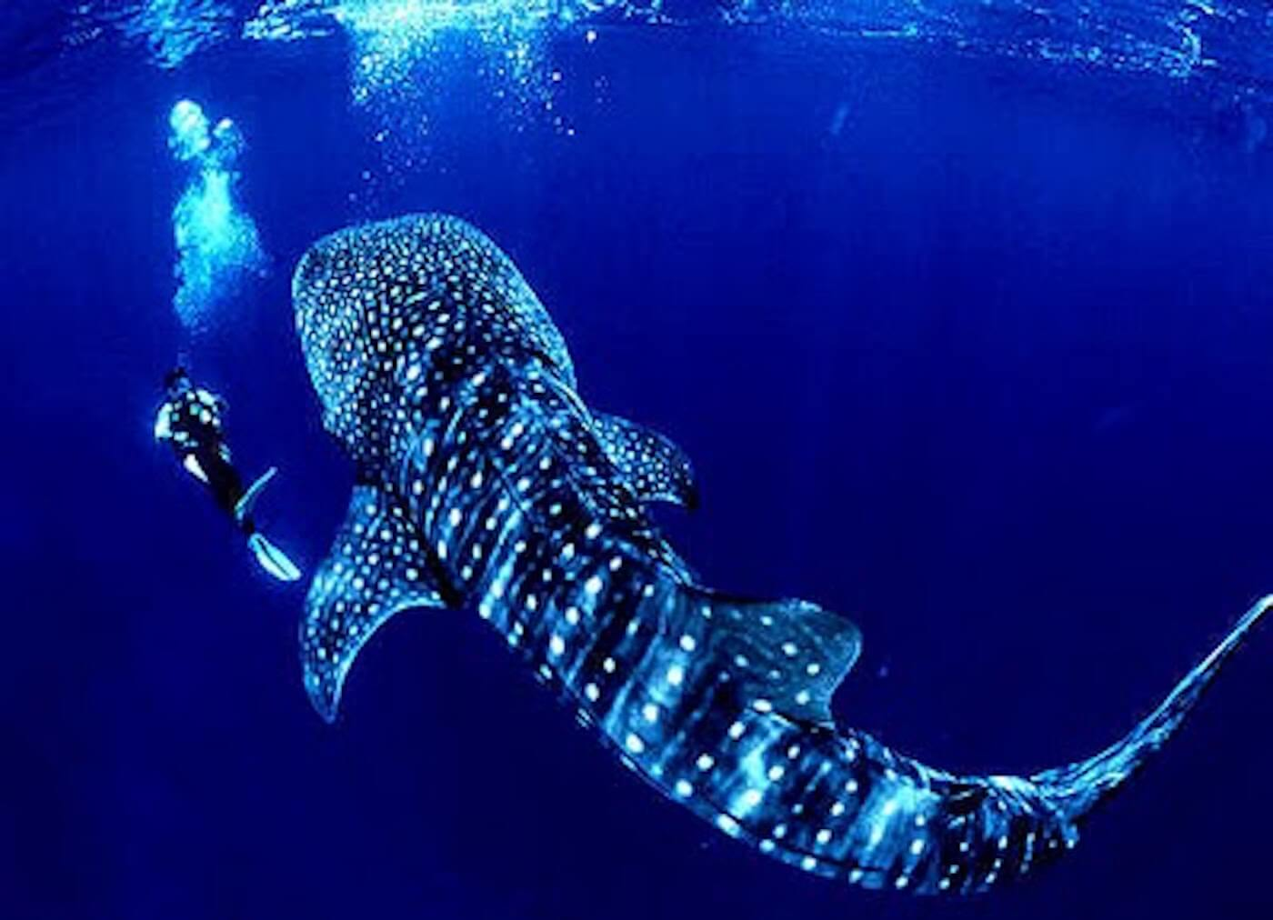 Whale-Shark-Tours-Cancun-Isla-Mujeres-Riviera-Maya-4