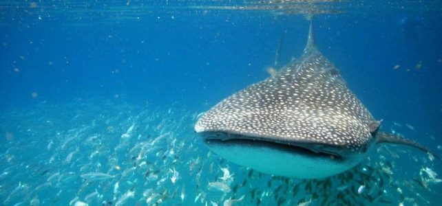 Whale Shark Encounter Public Tour