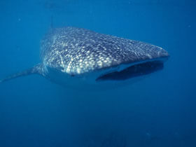 Whale-Shark-Tours-Cancun-Riviera-Maya-12