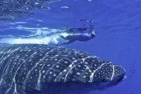 Whale-Shark-Tours-Snorkel-Cancun-Isla-Mujeres-Riviera-Maya-10