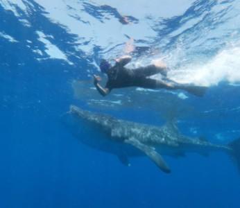 Whale Shark Encounter Public Tour